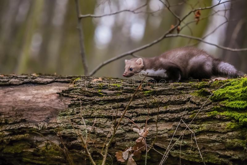 A brown colored white breasted marten, Martes foina royalty free stock image