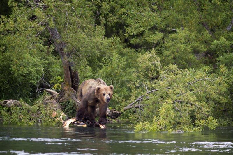 Brown concernent le rivage du lac La Russie, Kamchatka photo libre de droits