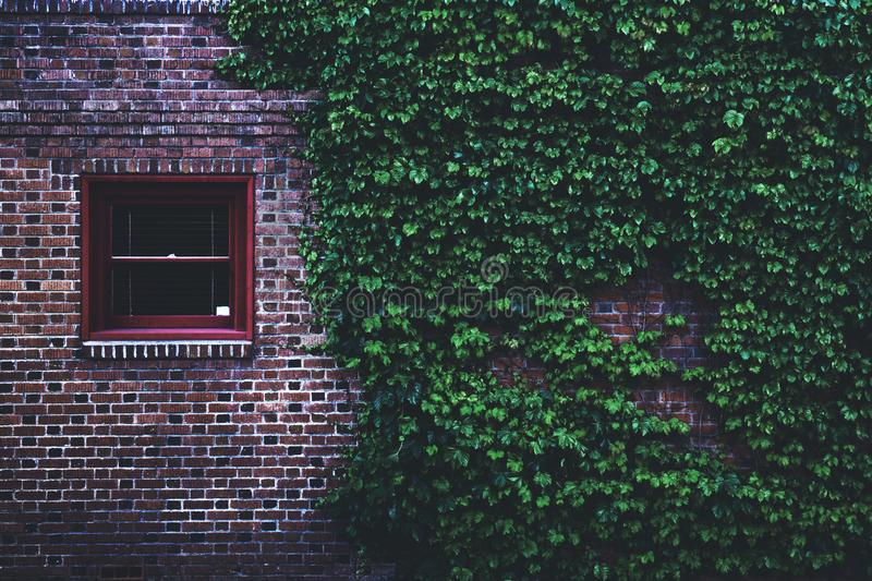 Brown Concrete Brick House Covered by Green Leaf Vines royalty free stock photo