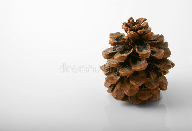 Brown cone. Studio shot on white plexia of brown cone stock photography