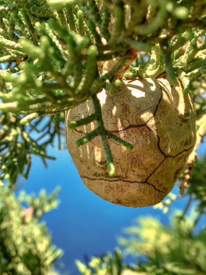 Brown cone of cypress on a branch close-up on a background of blue sky. On Mount Athos stock photos