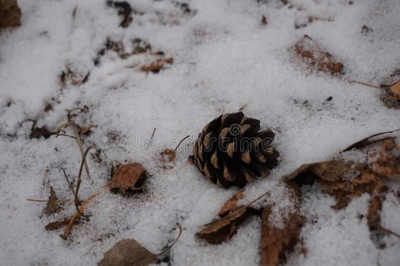 Brown cone lying in the snow. Brown cone crib lying in the snow winter macro royalty free stock images