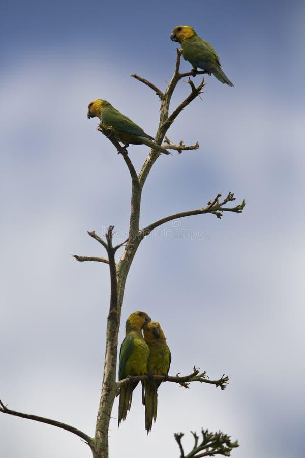 Brown Conure throated in albero fotografia stock libera da diritti
