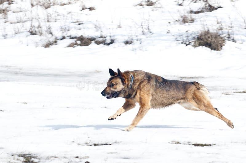 Brown corriente divertido activo y perro negro con los oídos rectos foto de archivo libre de regalías
