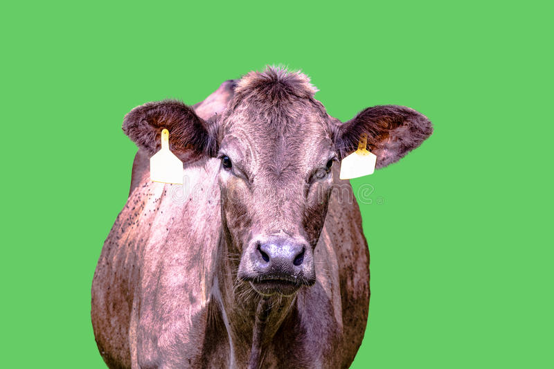 Brown cow from chest up -. Brown crossbred beef cow with two yellow ear tags with green screen background stock image