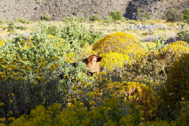 Brown cow in colorful greek landscape with flowers on peloponnese. Brown cow in colorful greek mountain landscape with flowers on peloponnese on sunny day in stock photo