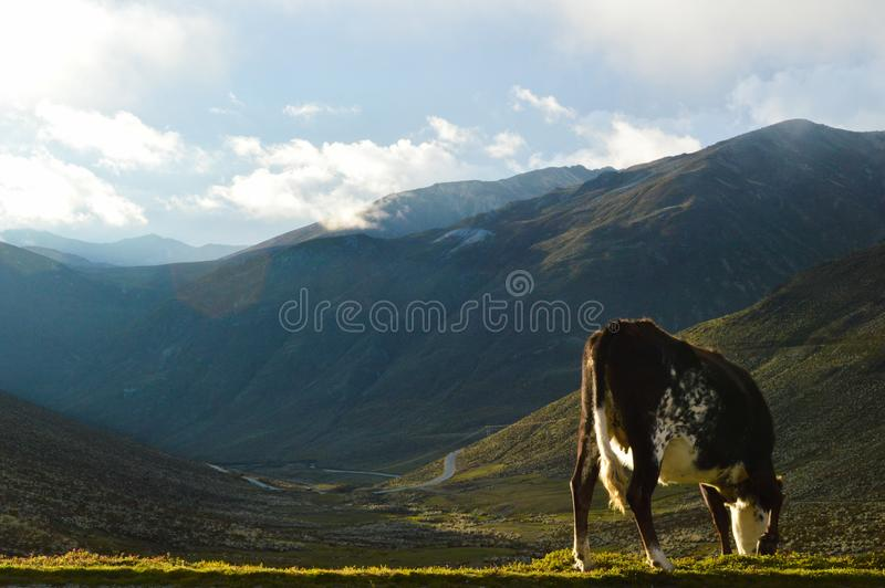Brown Cow Eating Grass royalty free stock images