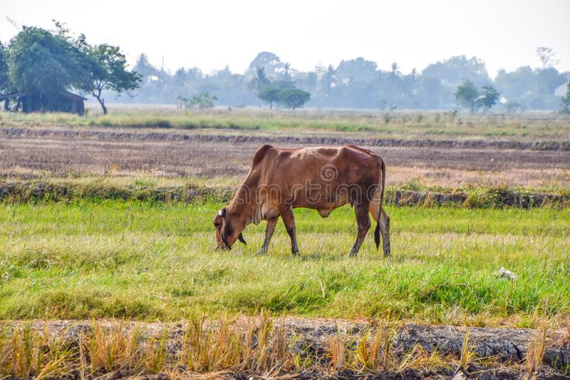 Brown Cow eating green grass in the middle of the rice fields in rural Thailand. Dry rice fields after harvesting rice in summer season agriculture alone royalty free stock photo