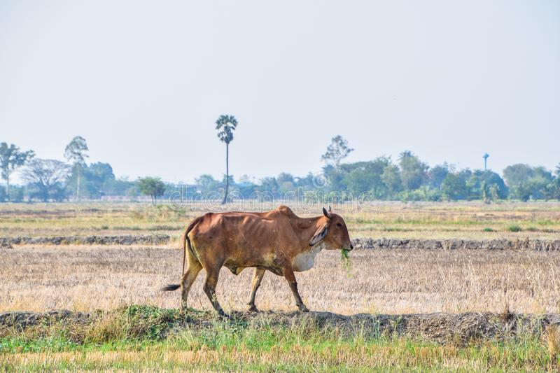 Brown Cow eating green grass in the middle of the rice fields in rural Thailand. Dry rice fields after harvesting rice in summer season agriculture alone royalty free stock images