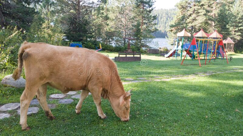 A brown cow grazes near the Playground. Life in the country. Funny shot.  stock image