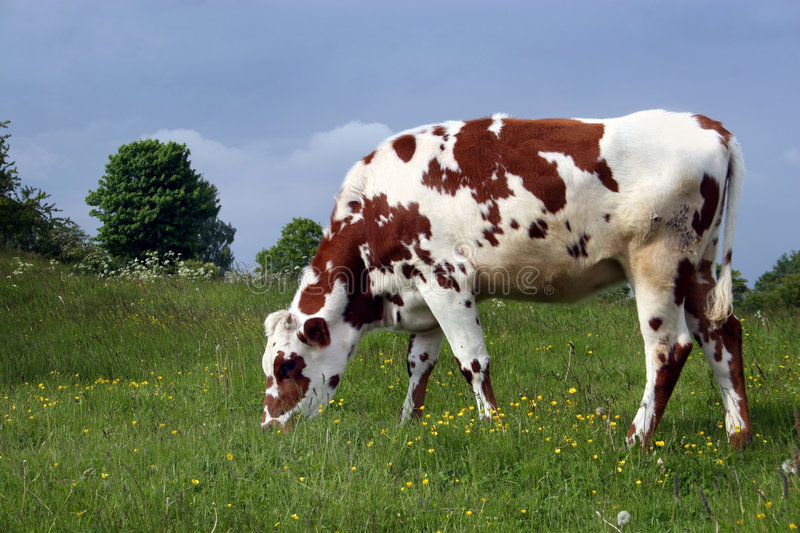 Brown cow grazing. Swedish Brown cow grazing royalty free stock photos