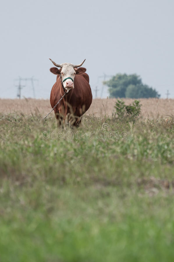 Brown cow looking ahead and a corn field. In background royalty free stock photos