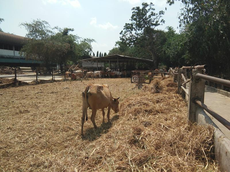 Brown cow looking for brown grass at outdoor yard, cow flock are under shade in farm stock photo