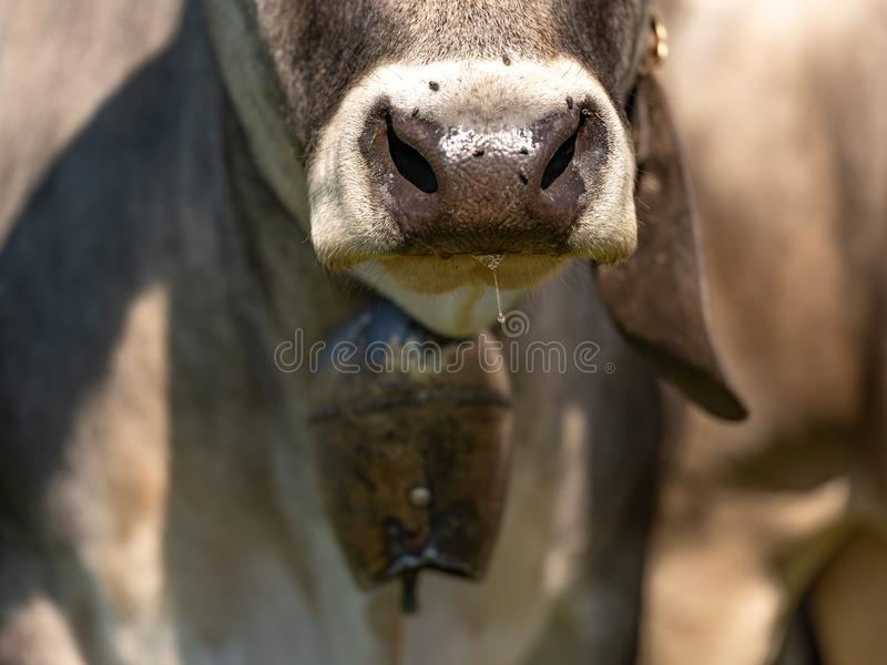 Cow nose close-up. Livestock with cowbell stock image