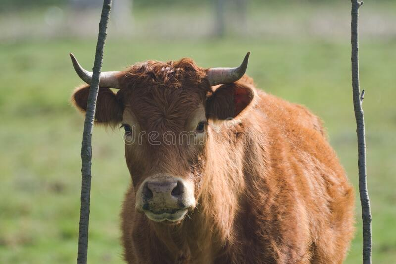 Brown cow on pasture royalty free stock photos