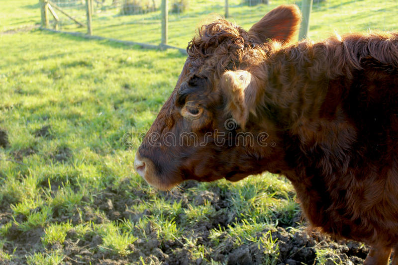 Brown cow royalty free stock image