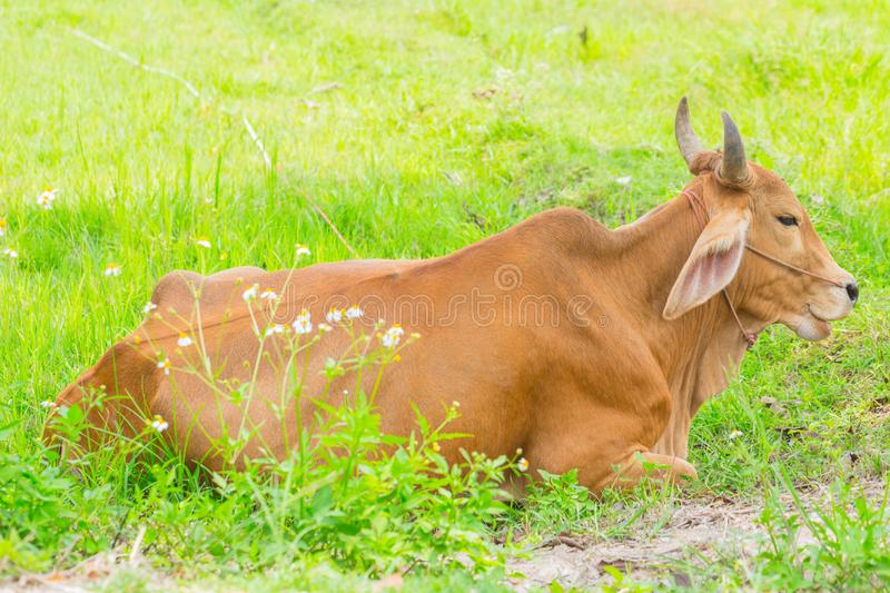Brown cow rest in the green grass field. Thai Asian animal countryside stock photo