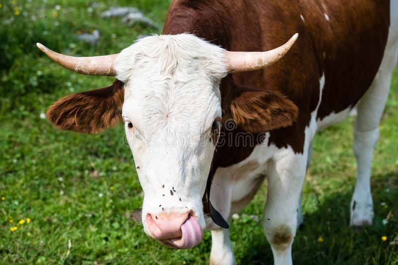 Download Brown Cow�s Head stock image. Image of looking, bavarian - 33128441