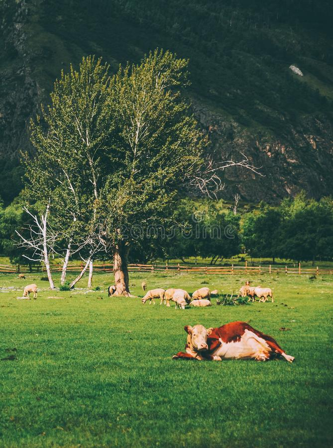brown cow and sheep grazing on pasture on mountains, royalty free stock photography