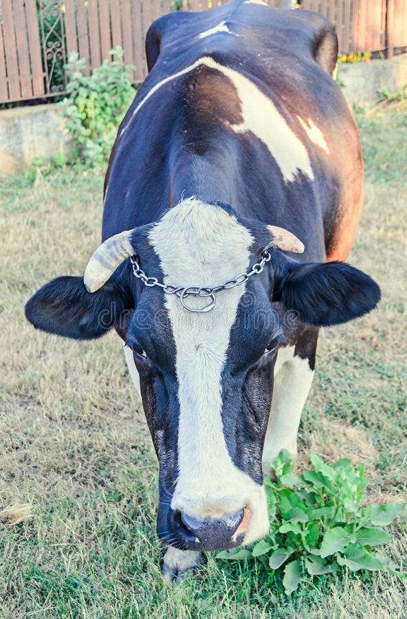 Brown cow with white spots, countryside, outdoor. Brown cow with white spots, countryside, outdoor stock images