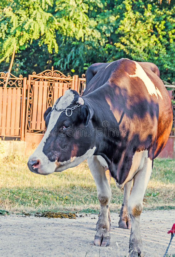 Brown cow with white spots, countryside, outdoor. Brown cow with white spots, countryside, outdoor royalty free stock image