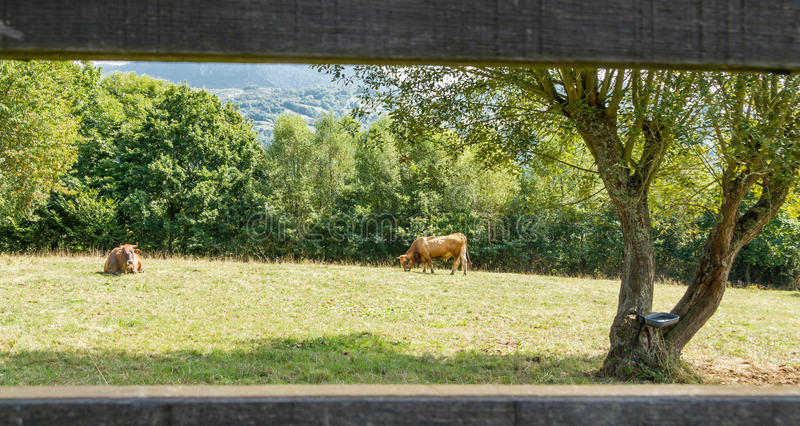 Brown cows grazing on a meadow behind a fence stock image
