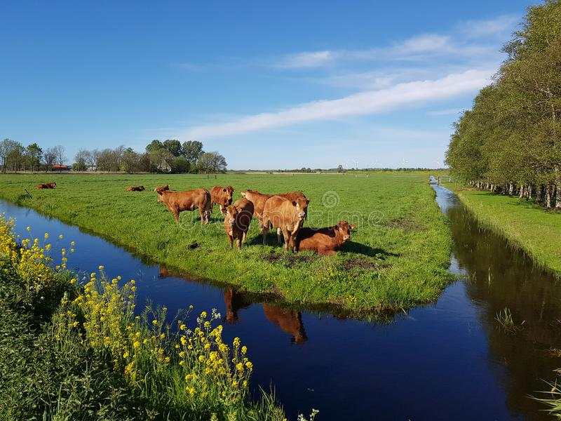 Brown cows in sunny meadow with ditch and bright blue sky stock photos