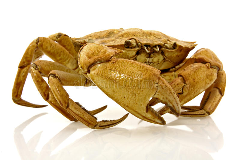 Brown crab with reflection stock photos