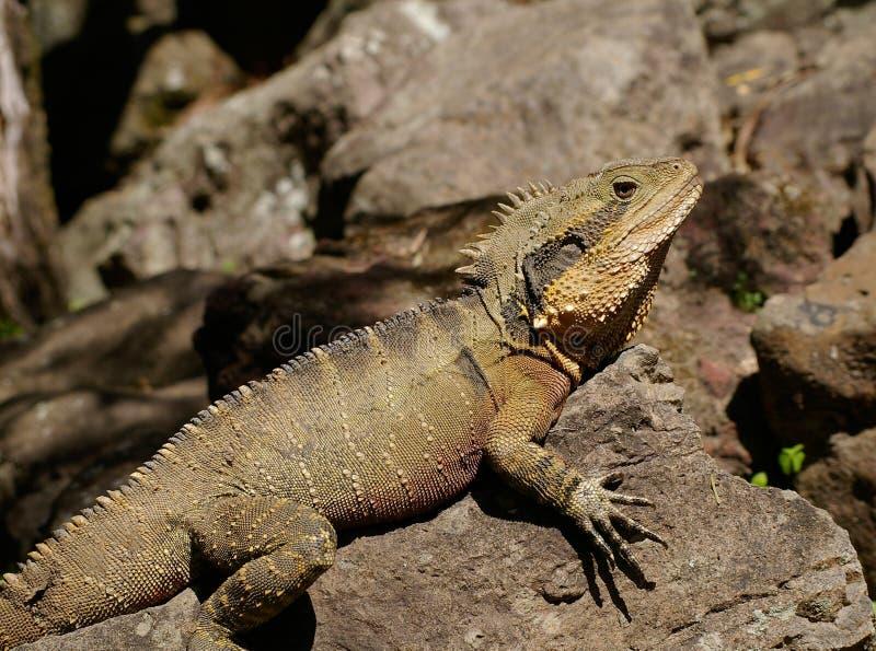 Brown Crest Water Dragon, Australia Free Public Domain Cc0 Image