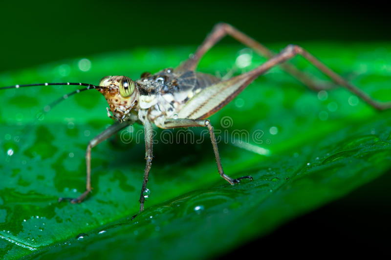 Brown Cricket royalty free stock photography