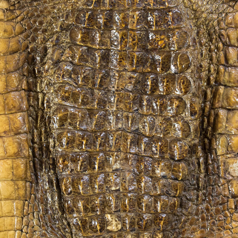 brown crocodile animal. download brown crocodile leather stock image. image of tannery - 35683817 animal t