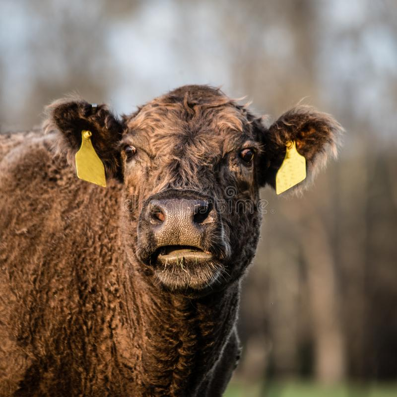 Brown crossbred beef cow head - square. Square image of a brown crossbred beef cow with her head up looking at the camera royalty free stock photo