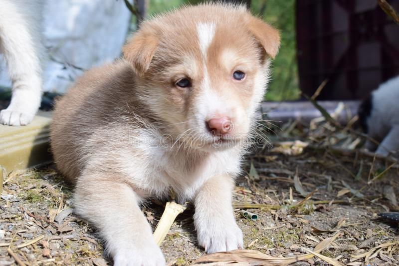 A brown white puppy dog sat on the foreground with an emotional face stock image