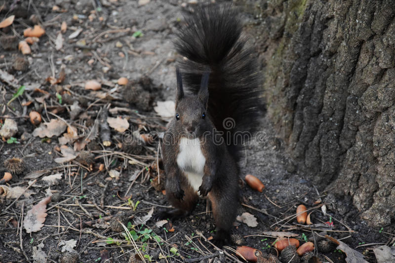 Brown curious squirrel royalty free stock images