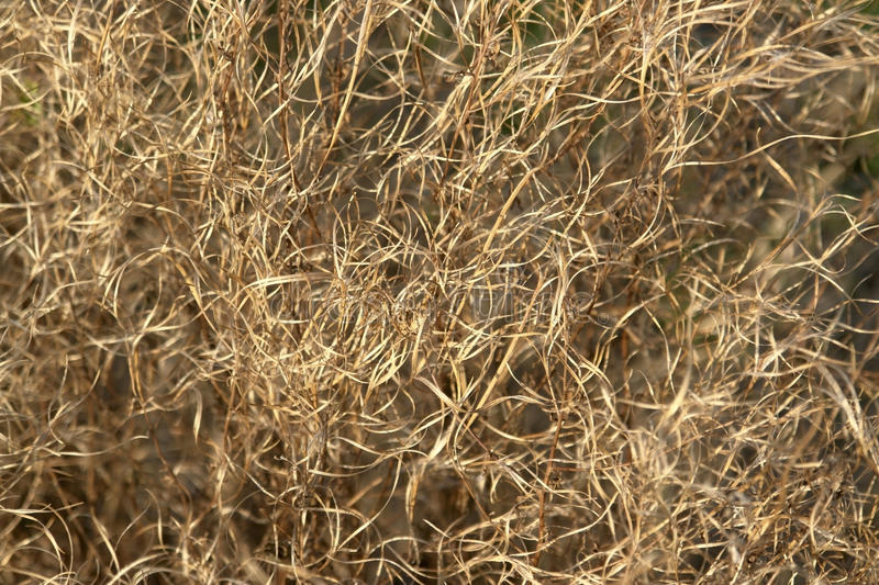 Brown curled grass filament. Abstract full frame background showing a withered and curled plant detail royalty free stock photography
