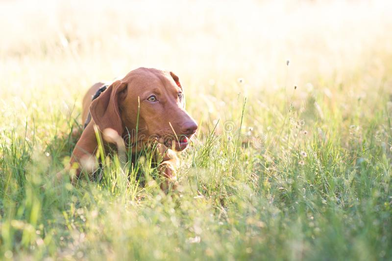 Brown cute dog lays in a park on the grass on a summer day and looks to the side. Magyar vizsla royalty free stock photography
