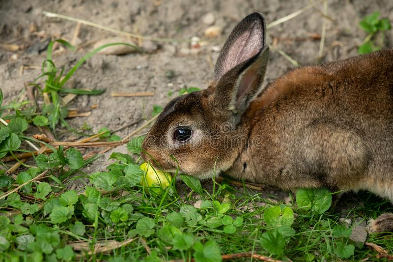 A brown cute dwarf rabbit eating a small apple. A brown cute dwarf rabbit sitting in the grass and eating a small apple stock photography