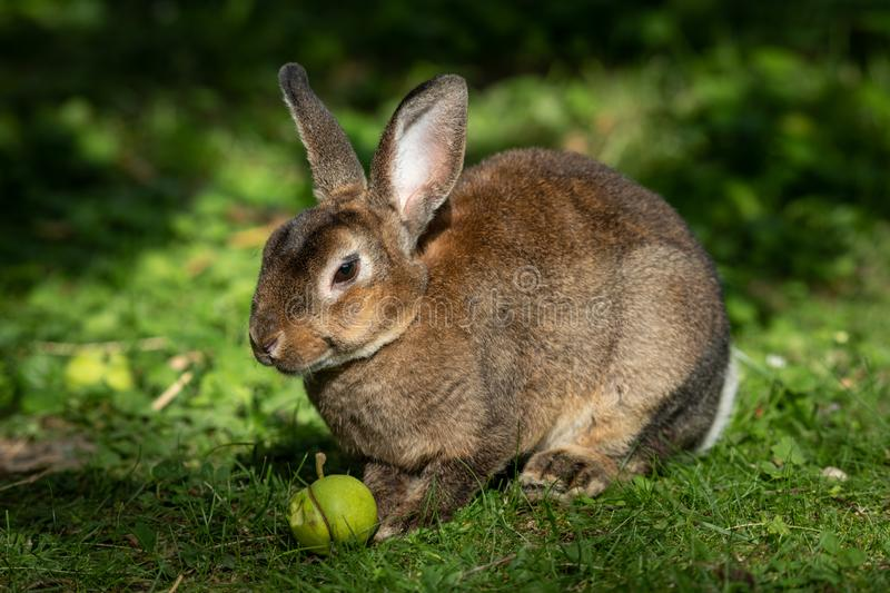 A brown cute dwarf rabbit eating a small apple. A brown cute dwarf rabbit sitting in the grass and eating a small apple royalty free stock photography