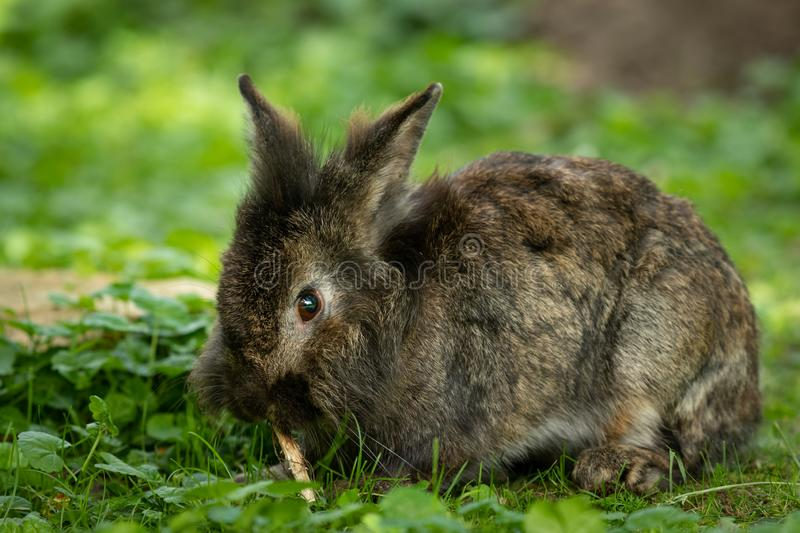 A brown cute dwarf rabbit nibbling on a small twig. A brown cute dwarf rabbit sitting in the grass and nibbling on a small twig stock photography
