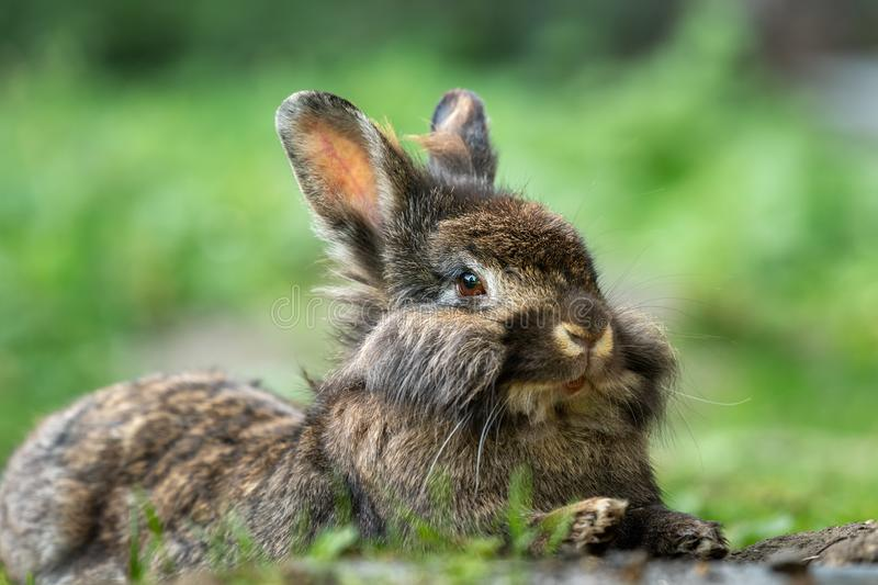 A brown cute dwarf rabbit resting in the grass. A brown cute dwarf rabbit lions head resting in the grass royalty free stock photos