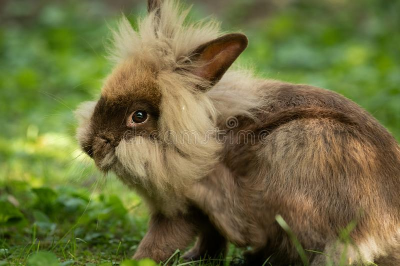 A brown cute dwarf rabbit resting in the grass. A brown cute dwarf rabbit lions head resting in the grass stock photo