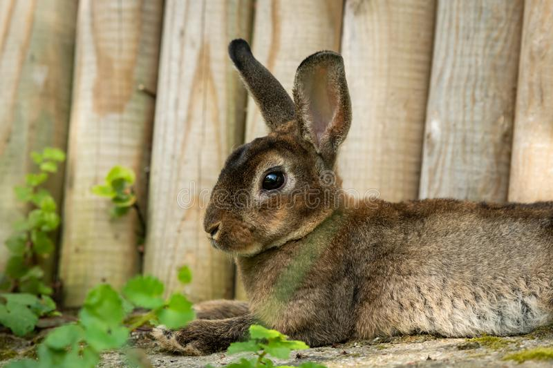 A brown cute dwarf rabbit resting in the grass. Near a wooden fence royalty free stock photos