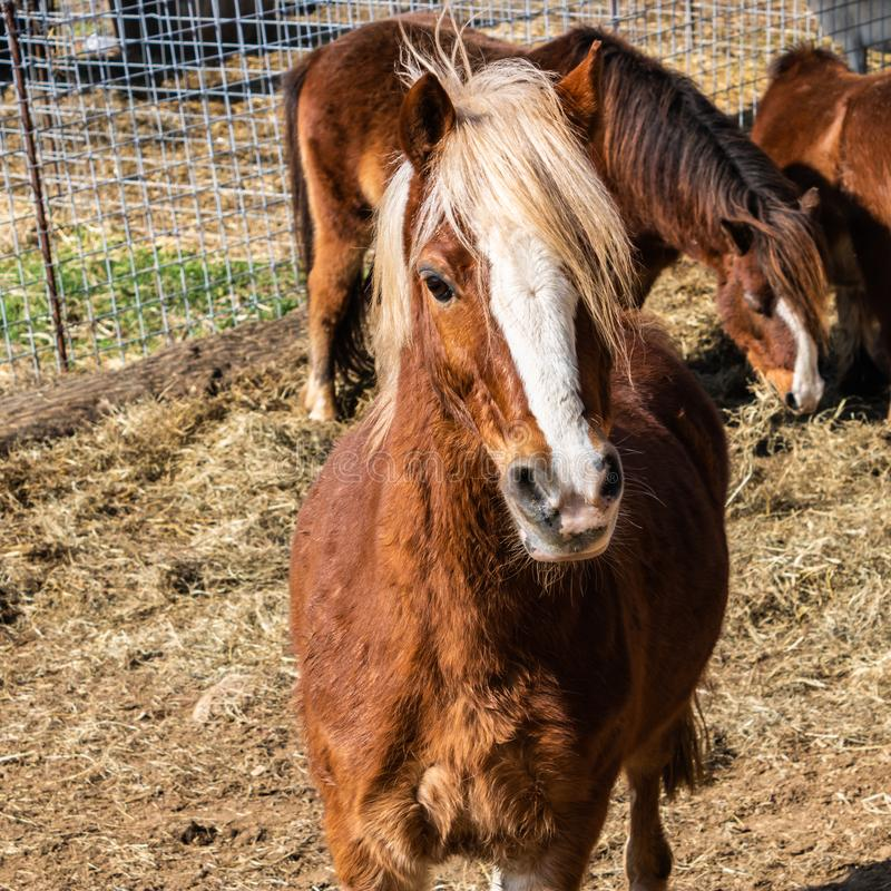 Brown cute pony looking at camera, lovely domestic animals - Image stock images