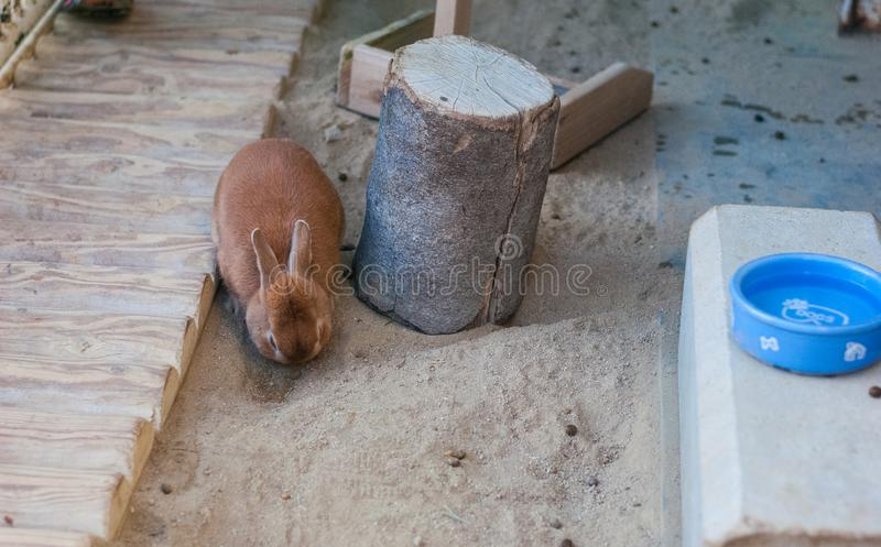 A brown cute rabbit trying to dig hole beside a log in the zoo, little bunny royalty free stock photo