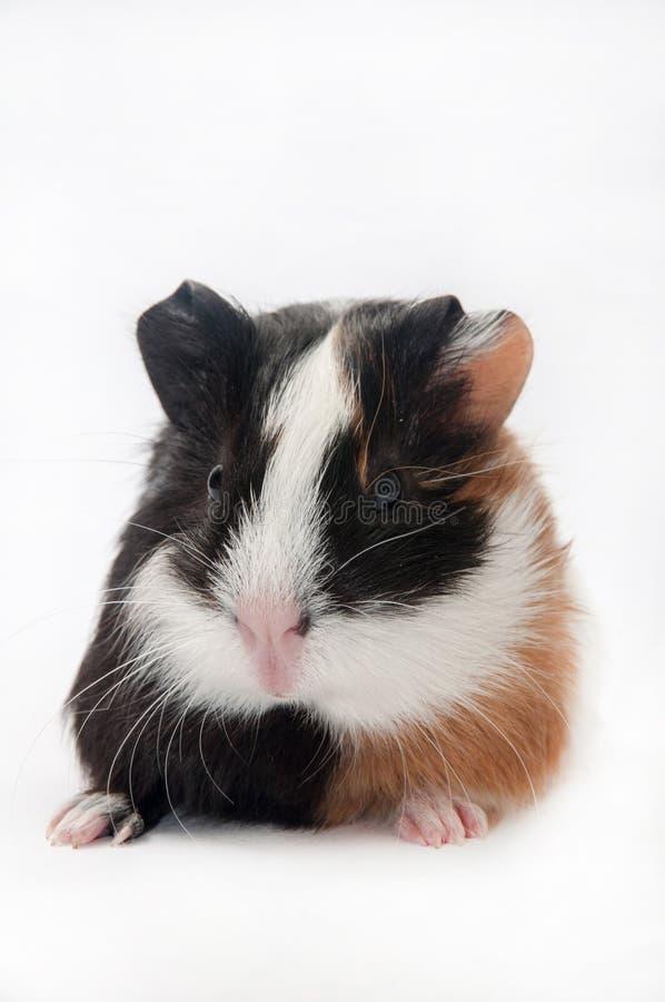 BROWN CZARNY BIAŁY królik doświadczalny zdjęcia stock
