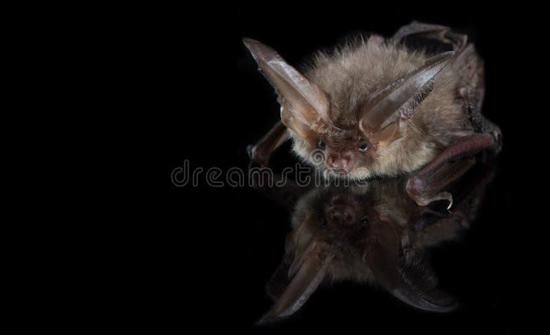 Brown długouchy nietoperz na czarnym tle fotografia royalty free