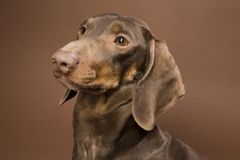 Brown dachshund stock photo