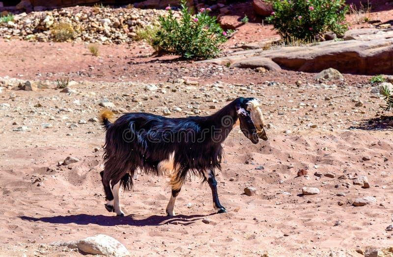 Brown Damaszek kózka w antycznym mieście Petra fotografia royalty free