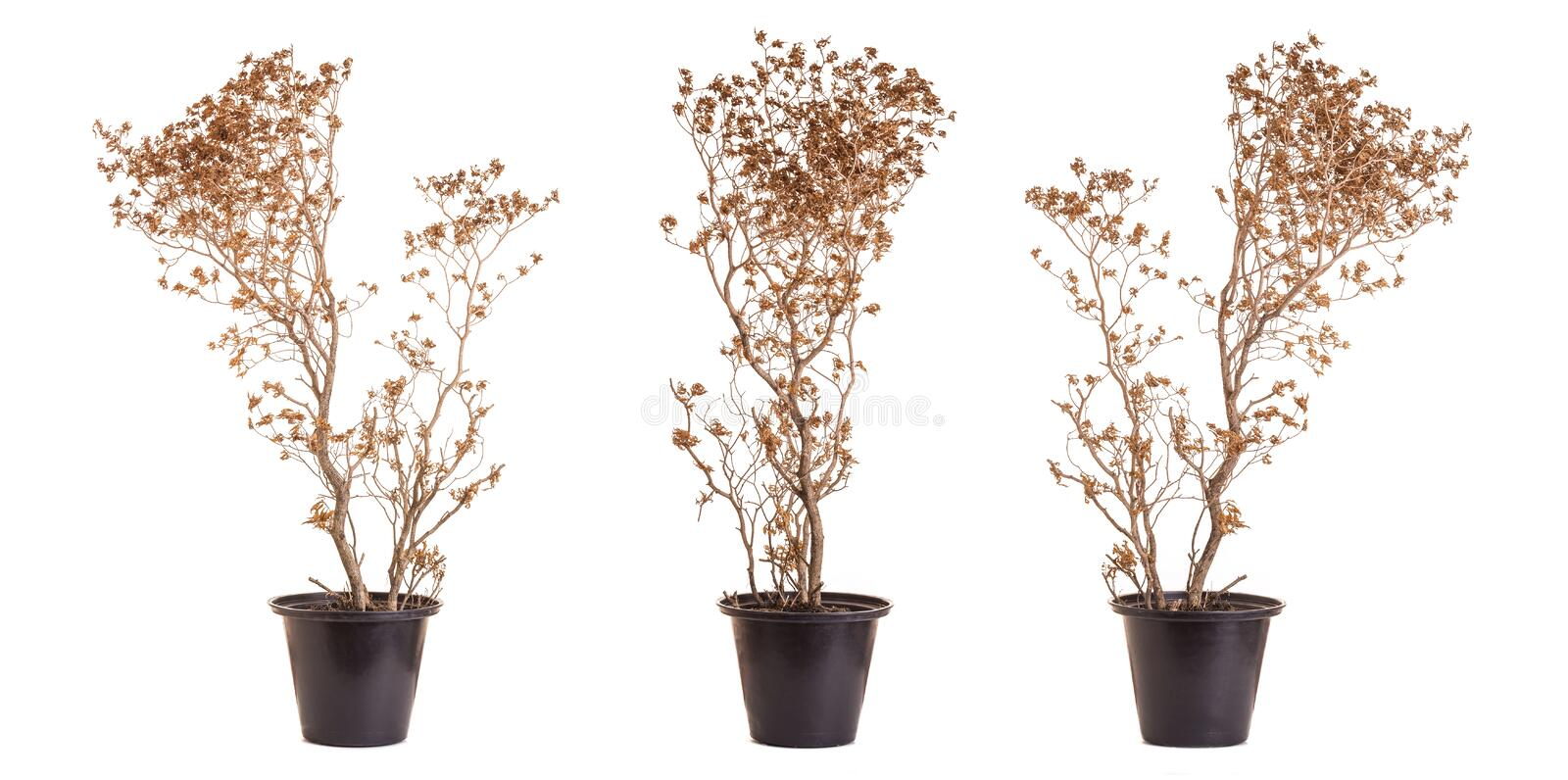 Brown dead plant in potted. Studio shot isolated on white background stock photography