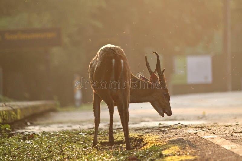 Download Brown deer stock image. Image of mammal, nature, brown - 19750649